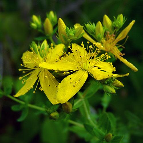 βαλσαμο-φυτο