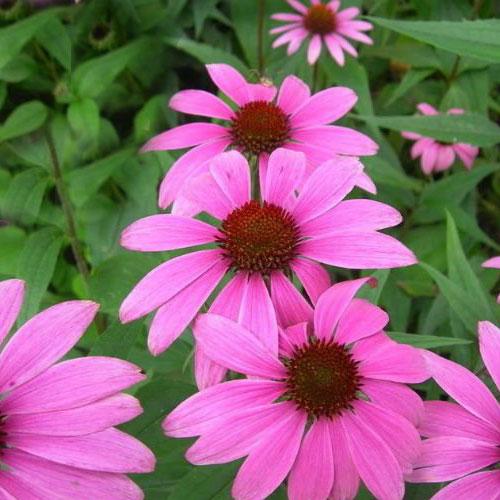 εχινάκεια-άνθη