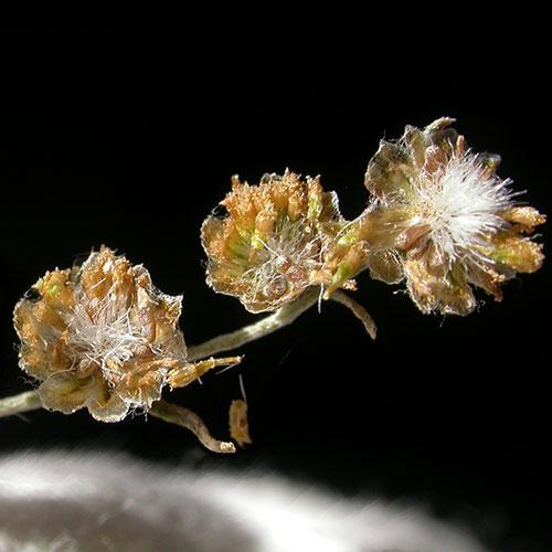 ABSINTHIUM-DRY-FLOWER