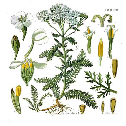 achillea-millefolium