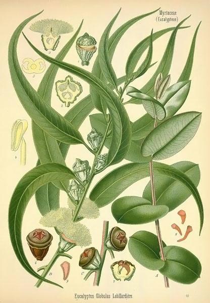 eucalyptus-in-medicine