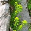 Γαλατσίδα - Ιδανικό πράσσινο σε Ελληνικό κήπο