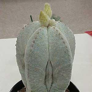 Astrophytum_myriostigma.jpg