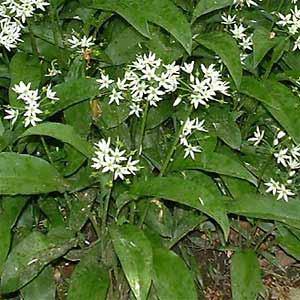 Allium-ursinum.jpg