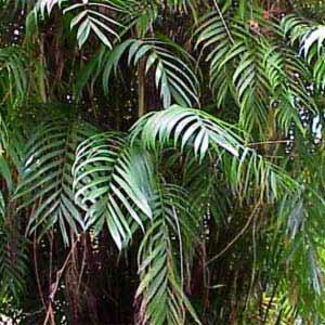 Chamaedorea-graminifolia.jpg