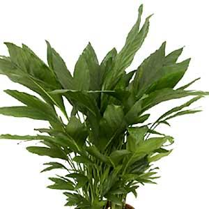 Chamaedorea-metallica.jpg
