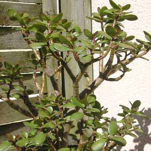 Crassula-arborescens.jpg