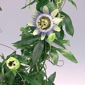 Passiflora-caerulea.jpg