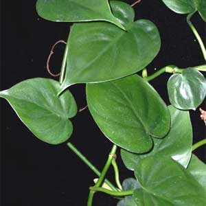 Philodendron-scadens.jpg
