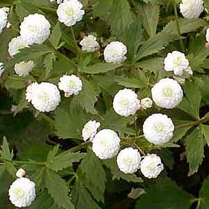 Ranunculus-aconitifolius.jpg
