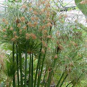 cyperus_papyrus.jpg
