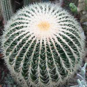 Echinocactus-grusonii.jpg