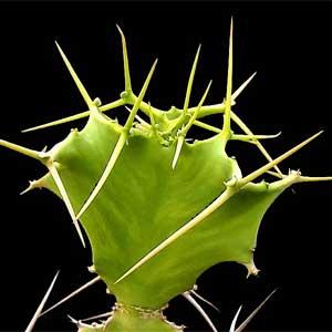 Euphorbia-grandicornis.jpg