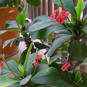 Euphorbia-milii.jpg