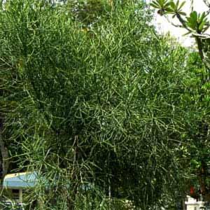 Euphorbia_tirucalli.jpg