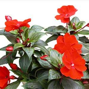 Μικρής διάρκειας ανθοφόρα φυτά